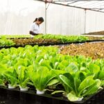 Floating hydroponic vegetables cultivation – Growing vegetables on the water – Modern Agriculture