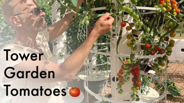 How to grow tomatoes on a Tower Garden