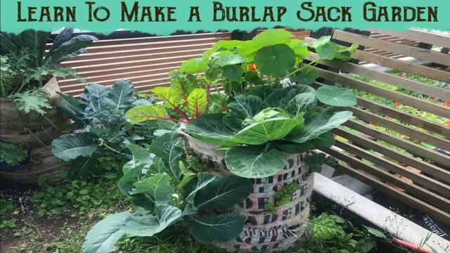 Learn to make a burlap sack garden in 20 minutes – Tutorial