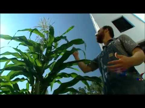Fresh for Florida Kids Food Garden – Growing Corn