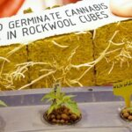 How To Germinate Cannabis Seeds in Rockwool Cubes for Hydroponics: Cannabasics #115