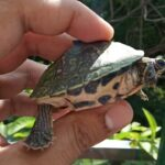 # pangshura tecta care/ how to care indian roof turtle* (detailed information video)