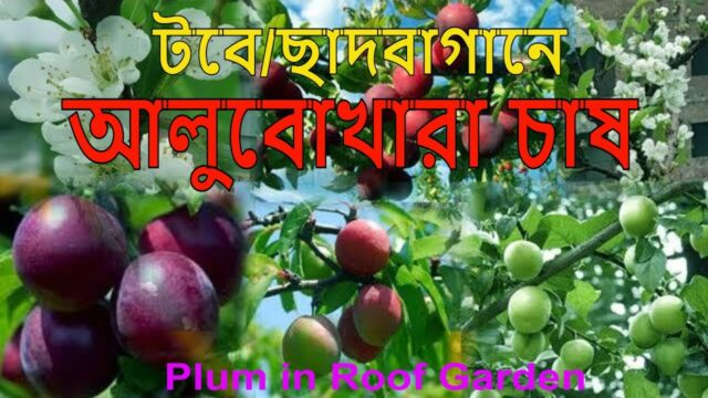 Plum in Roof garden (টবে আলু বোখারা)