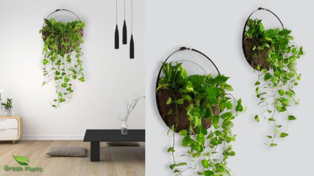Money plant Wall Hanging Idea for Home Room Garden | Idea for Wall Hanging Money Plant//GREEN PLANTS