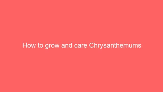 How to grow and care Chrysanthemums
