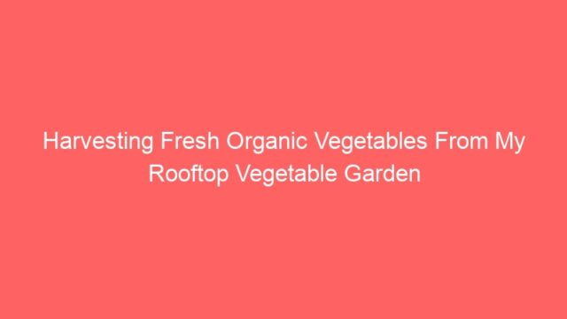 Harvesting Fresh Organic Vegetables From My Rooftop Vegetable Garden