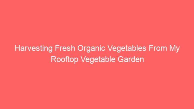 Harvesting Fresh Organic Vegetables From My Rooftop Vegetable Garden