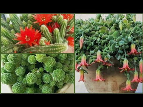Amazing Hanging Succulents and  Hanging Cactus | Wonderful Ideas