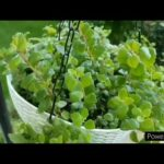 Hanging Basket of Tangled Hearts a Succulent//Care & Propagation with time lapse//Best For Balcony