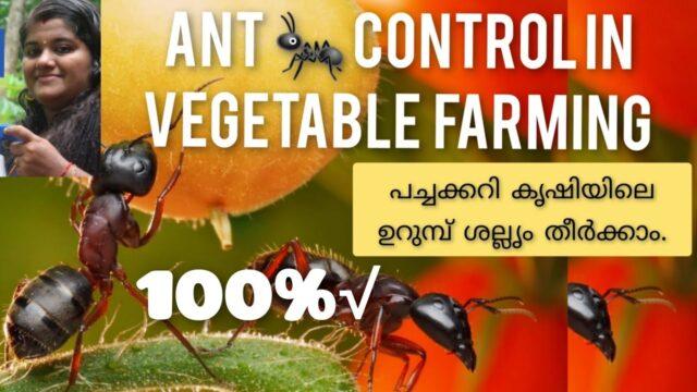 പച്ചക്കറികളിലെ ഉറുമ്പ് ശല്യം തീരും ! Best organic ant control for your vegetable Garden.