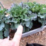 Winter CONTAINER GARDEN Harvest FEBRUARY Snow Kale Greenhouse Supplies grow vegetable gardening deck