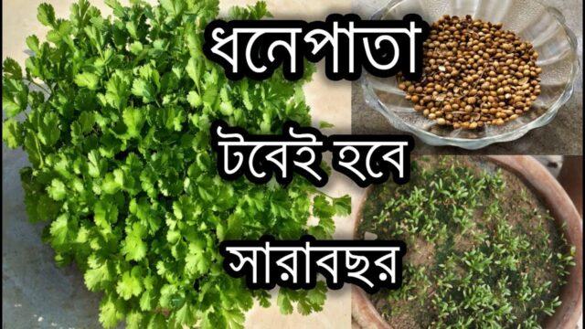 সারাবছর টবেই হবে প্রচুর পরিমানে ধনেপাতা (ধনিয়া পাতা)/ How to grow and care coriander easily at home