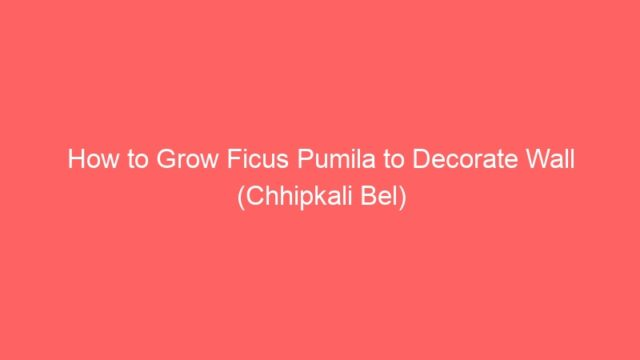 How to Grow Ficus Pumila to Decorate Wall (Chhipkali Bel)