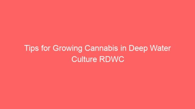 Tips for Growing Cannabis in Deep Water Culture RDWC