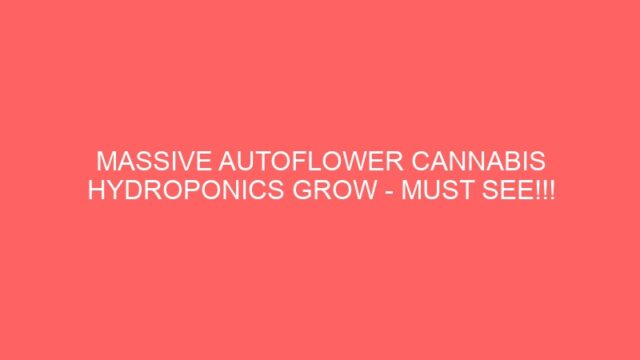 MASSIVE AUTOFLOWER CANNABIS HYDROPONICS GROW – MUST SEE!!!