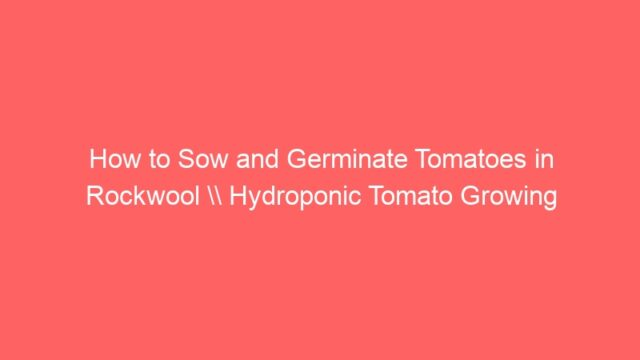 How to Sow and Germinate Tomatoes in Rockwool \\ Hydroponic Tomato Growing