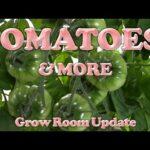 Hydroponic Winter Tomatoes (DWC)