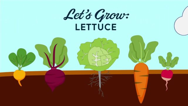 Let's Grow Lettuce – Vegetable Gardening Tips