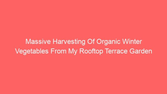 Massive Harvesting Of Organic Winter Vegetables From My Rooftop Terrace Garden