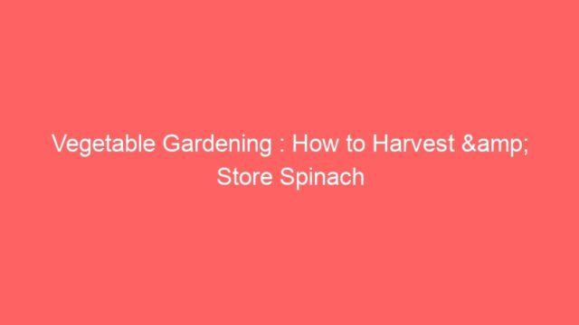 Vegetable Gardening : How to Harvest & Store Spinach
