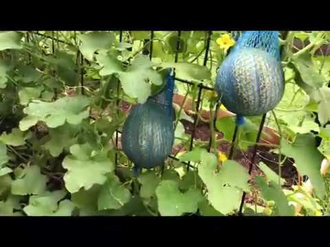 Vertical Growing Cantaloupe Garden