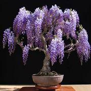 wisteria bonsai