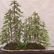 Bonsai grove