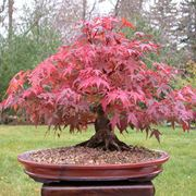 red maple in pot