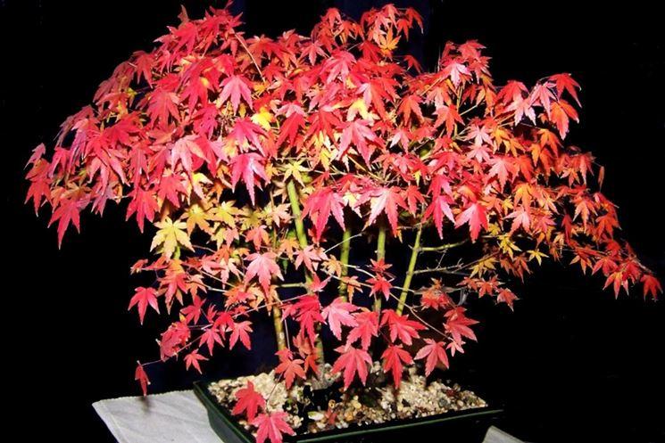 Autumn maple bonsai