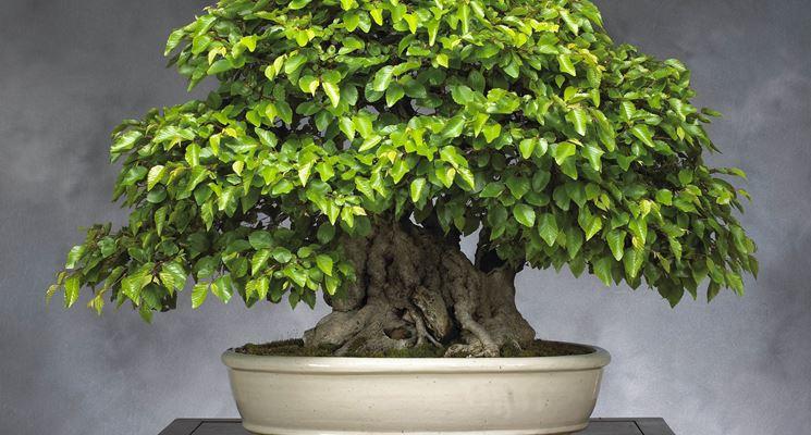 beech bonsai