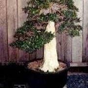 Large olive bonsai