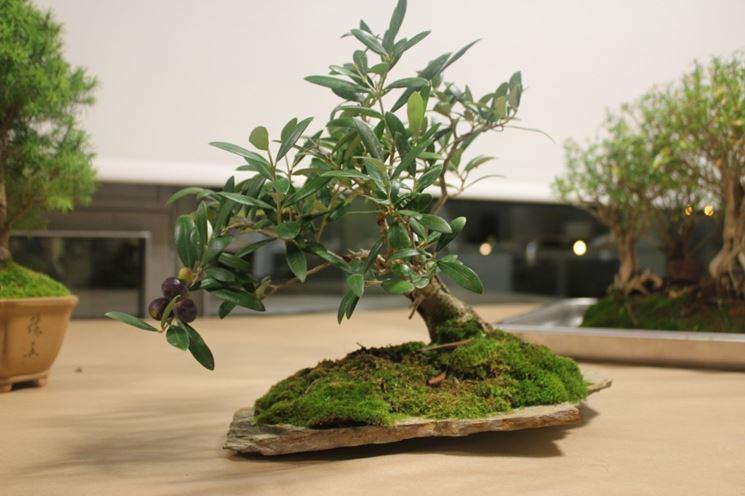 specimen olive tree bonsai