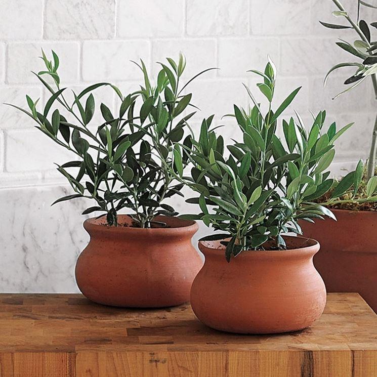 olive tree bonsai in pot