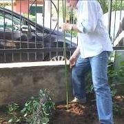 Attach a shrub to stakes