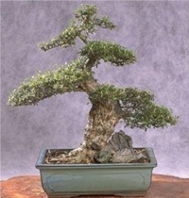 Cotonaster bonsai