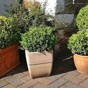 Boxwood in pot