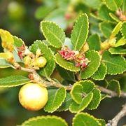 Nothofagus foliage