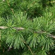 Pine cone larch