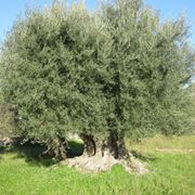 a centuries-old olive tree