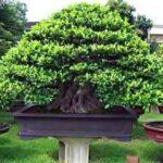 Bonsai ficus microcarpa – Bonsai tips