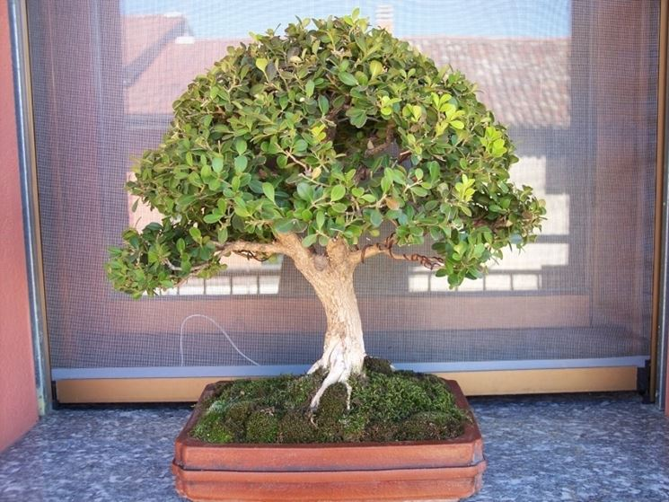 Buxus harlandii bonsai