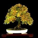 Hornbeam – Carpinus betulus – Carpinus betulus – Bonsai tips – Hornbeam – Carpinus betulus