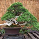 Juniper Bonsai – Bonsai tips