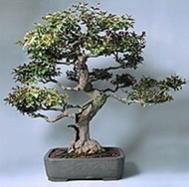 Lagestroemia bonsai