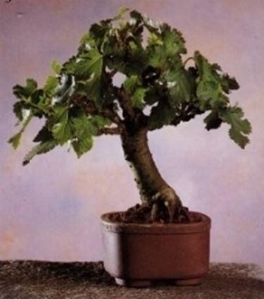 mulberry bonsai