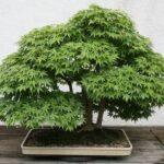 Oak – Bonsai Questions and Answers