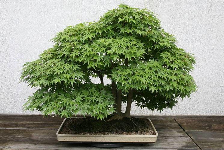 oak bonsai