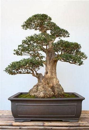 olive tree bonsai