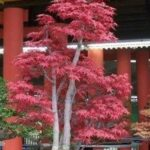 Palmato Maple Bonsai – Bonsai Questions and Answers