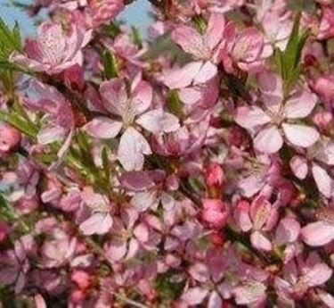 Flowering prunus
